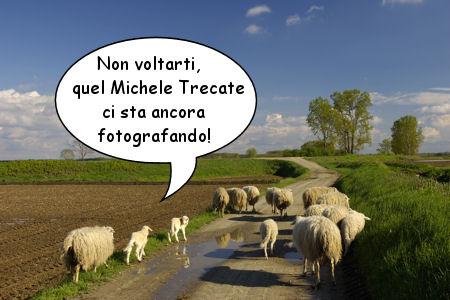 Fotoromanzo: nella fotografia si vede un gregge di pecore; una di queste dice, due punti aperte le virgolette - non voltarti, quel Michele Trecate ci sta fotografando